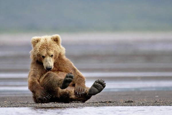 Wall Art - Photograph - Brown Bear by Manuel Presti/science Photo Library