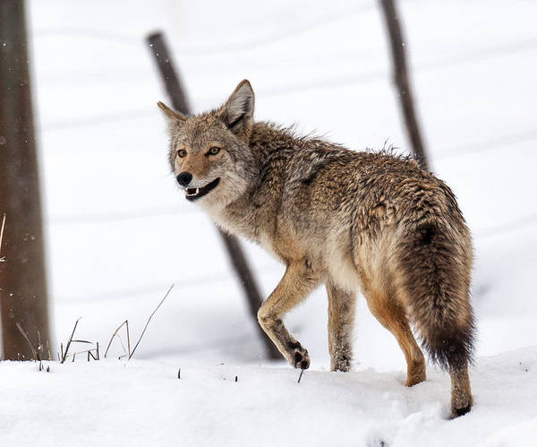 Photograph - 14 Coyote by Kevin  Dietrich