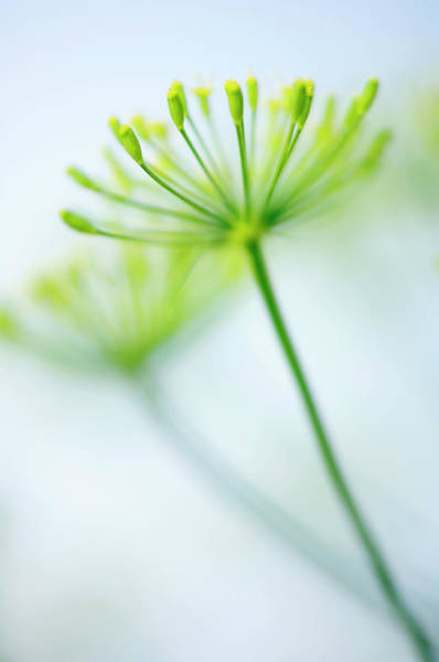 Wall Art - Photograph - Dill (anethum Graveolens) by Maria Mosolova/science Photo Library