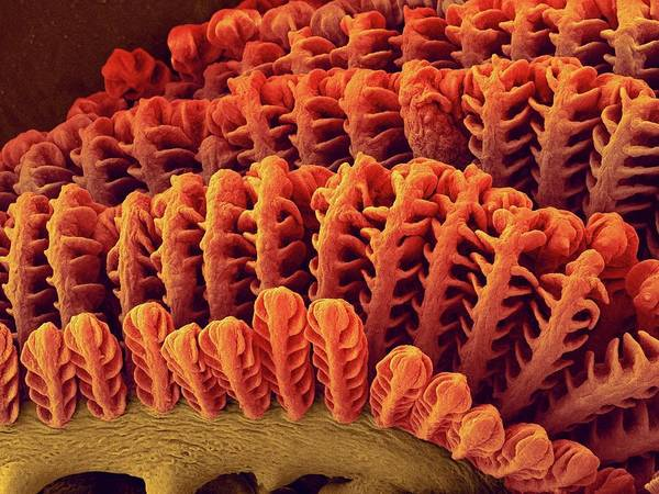 Wall Art - Photograph - Goby Fish Gills (awaous Guamensis) by Dennis Kunkel Microscopy/science Photo Library