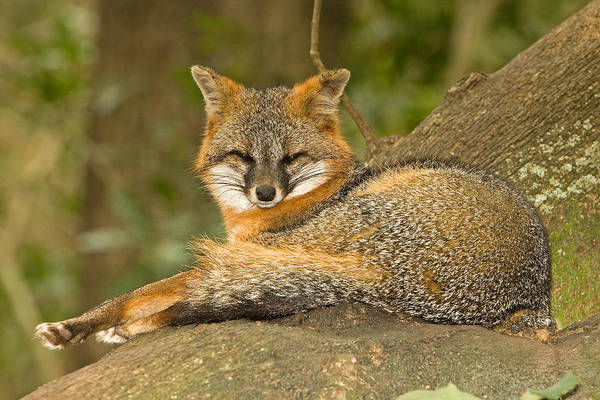 Wall Art - Photograph - Grey Fox by Millard H. Sharp