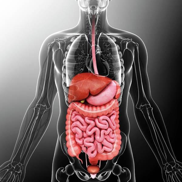 Esophagus Wall Art - Photograph - Human Internal Organs by Pixologicstudio