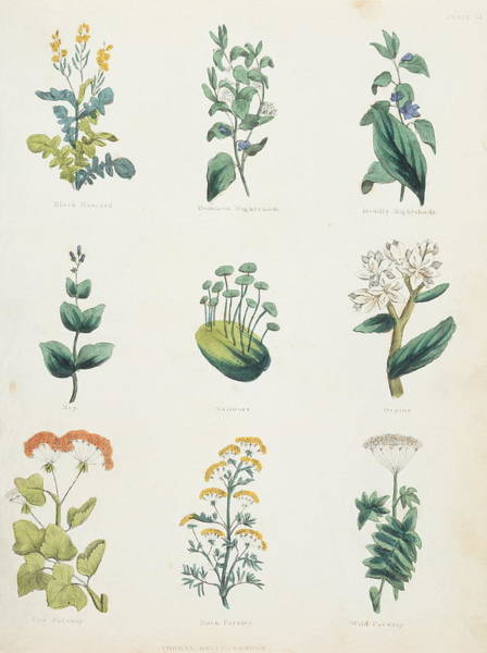 Herbs Photograph - Medicinal Herbs by Sheila Terry/science Photo Library