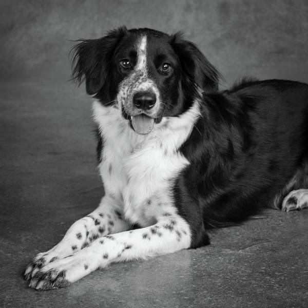Wall Art - Photograph - Portrait Of A Border Collie Mix Dog by Animal Images
