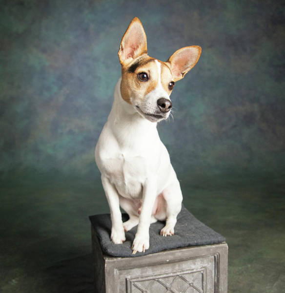 Jack Russell Wall Art - Photograph - Portrait Of A Jack Russell Terrier Dog by Animal Images