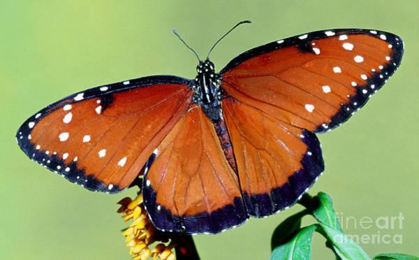 Pterygota Wall Art - Photograph - Queen Butterfly by Millard H. Sharp