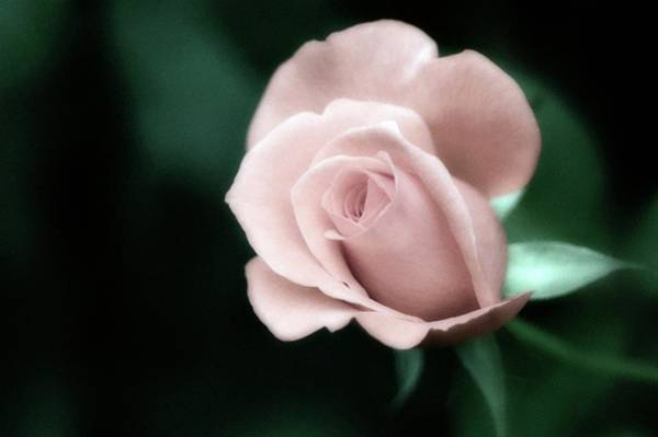 Hybrid Rose Photograph - Rose (rosa Sp.) by Maria Mosolova/science Photo Library