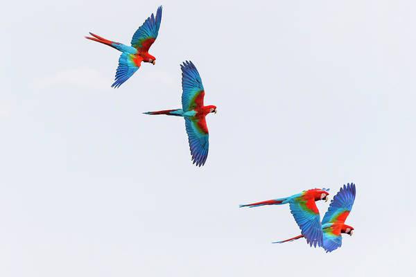 Macaw Photograph - South America, Brazil, Mato Grosso by Ellen Goff