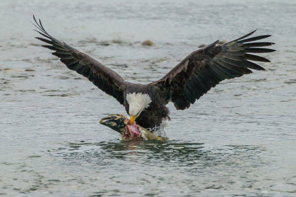 Bald Mountain Photograph - Usa, Alaska, Chilkat Bald Eagle Preserve by Jaynes Gallery
