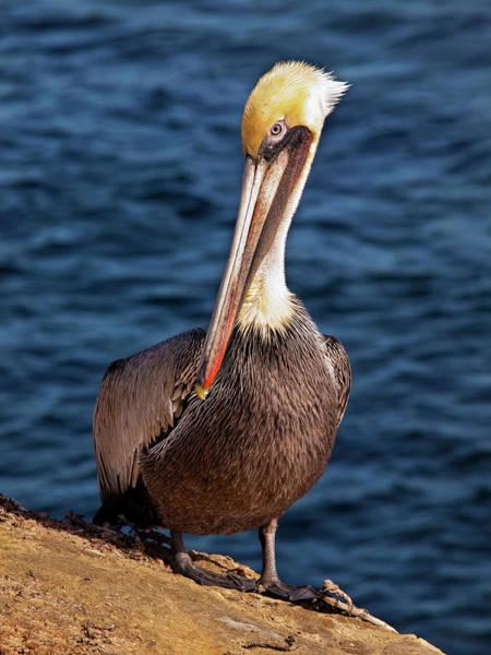 California Brown Pelican Photograph - Usa, California, La Jolla by Ann Collins