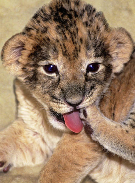 Lion Cubs Photograph - Usa, California, Los Angeles County by Jaynes Gallery