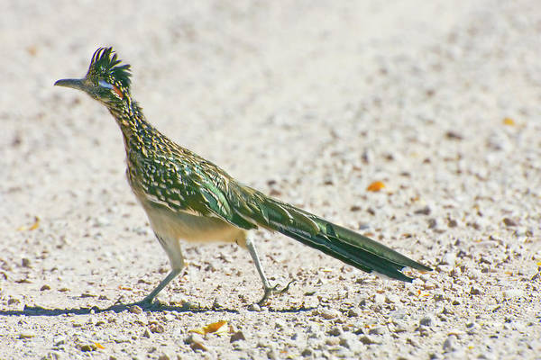 Greater Roadrunner Photograph - Usa, New Mexico, Bosque Del Apache by Jaynes Gallery