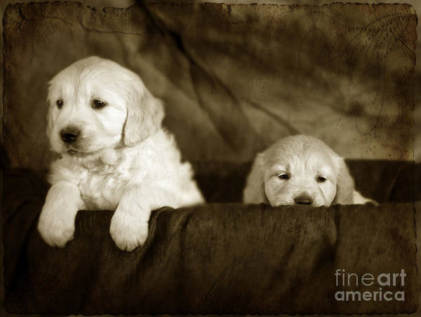 Hund Wall Art - Photograph - Vintage Festive Puppies by Angel Ciesniarska
