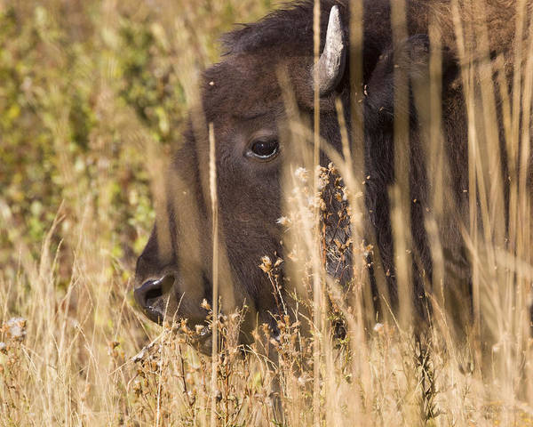 Photograph - 140915a-222 Grazing Bison by Albert Seger