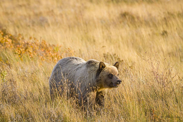 Photograph - Grizzly Bear 1  -  140917a-295 by Albert Seger