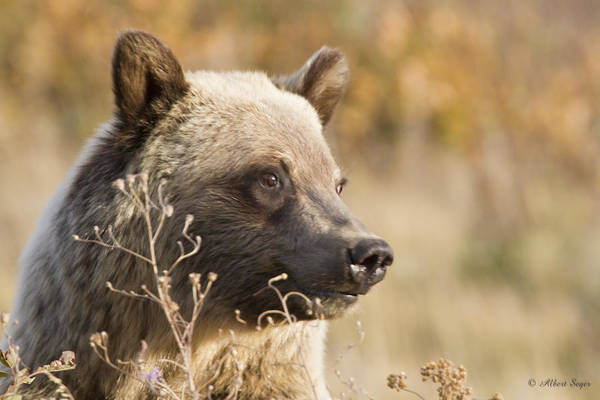 Photograph - Grizzly Bear 3  -  140917a-313 by Albert Seger
