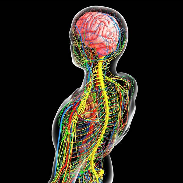 Wall Art - Photograph - Upper Body Anatomy by Pixologicstudio/science Photo Library
