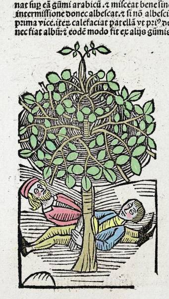 Woodcut Photograph - 1491 Bausor Opium Tree Hortus Sanitatis by Paul D Stewart