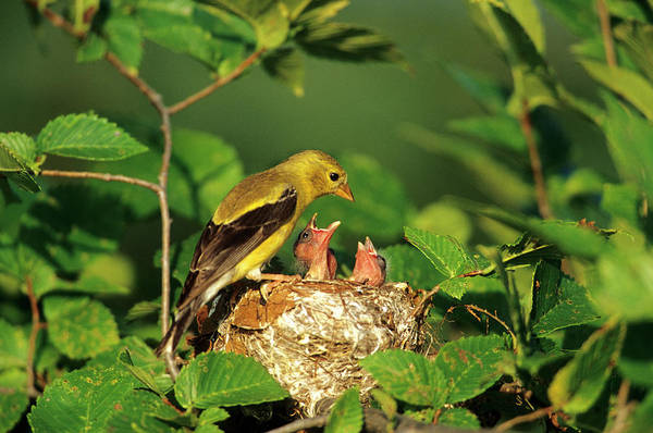 Goldfinch Photograph - American Goldfinch (carduelis Tristis by Richard and Susan Day