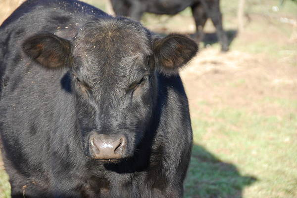 Wall Art - Photograph - Black Angus Heifer by Thea Wolff
