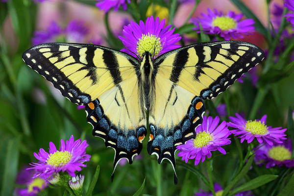 Aster Photograph - Eastern Tiger Swallowtail Papilio by Darrell Gulin