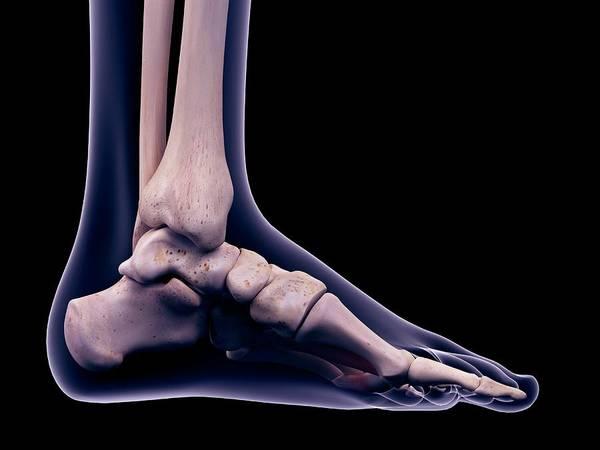 Wall Art - Photograph - Foot Muscle by Sebastian Kaulitzki/science Photo Library
