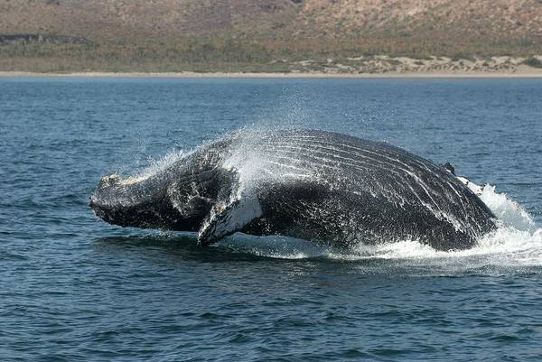 Wall Art - Photograph - Humpback Whale Breaching by Christopher Swann/science Photo Library