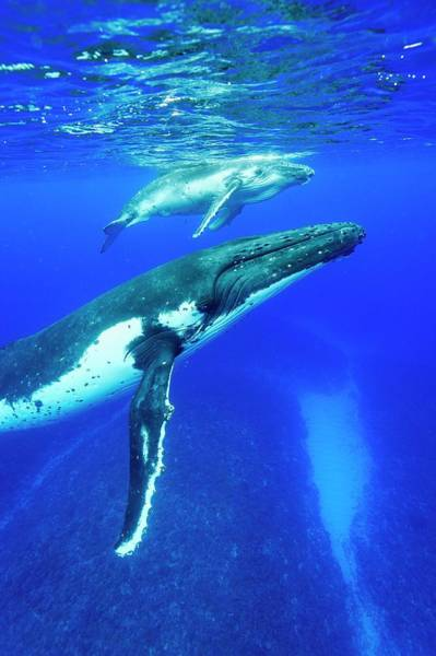 Wall Art - Photograph - Humpback Whale Mother And Calf by Christopher Swann/science Photo Library
