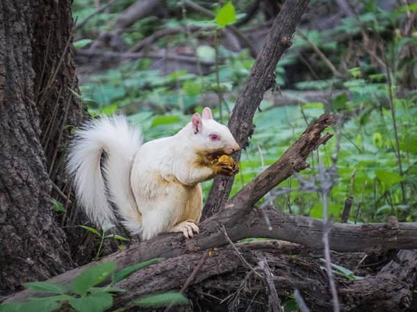 Photograph - Albino Squirrel by Patti Deters