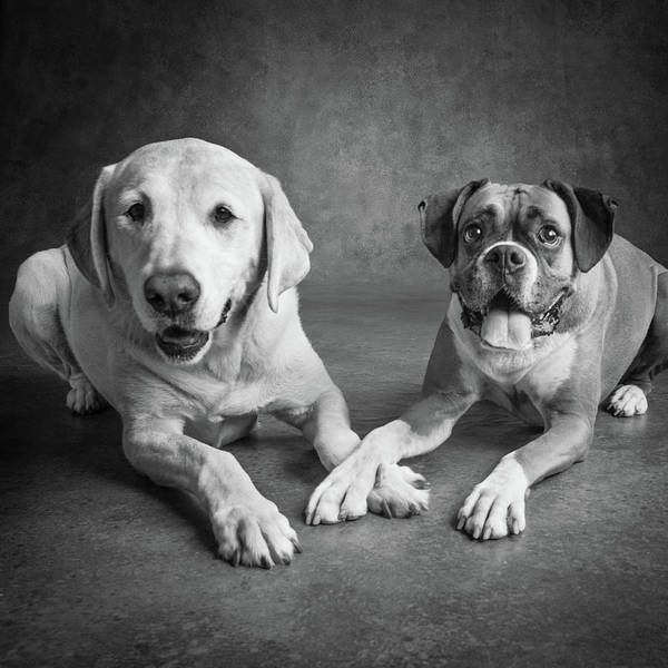 Wall Art - Photograph - Portrait Of A Boxer Dog And Golden by Animal Images