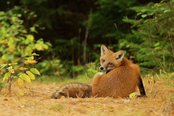 Scratch Photograph - Red Fox - Algonquin Park by Jim Cumming