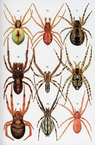 Wall Art - Photograph - Spiders Of Britain And Northern Europe by Natural History Museum, London/science Photo Library