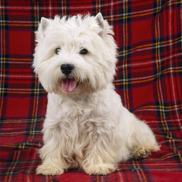 Wall Art - Photograph - West Highland White Terrier by John Daniels