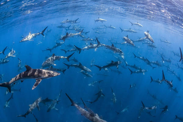 Bait Ball Photograph - 151 Silky Sharks by J Gregory Sherman