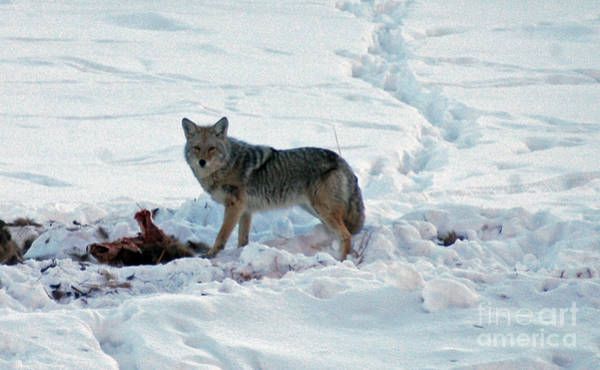 Photograph - 152p Coyote by NightVisions