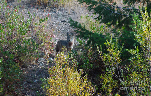 Photograph - 154p Coyote by NightVisions