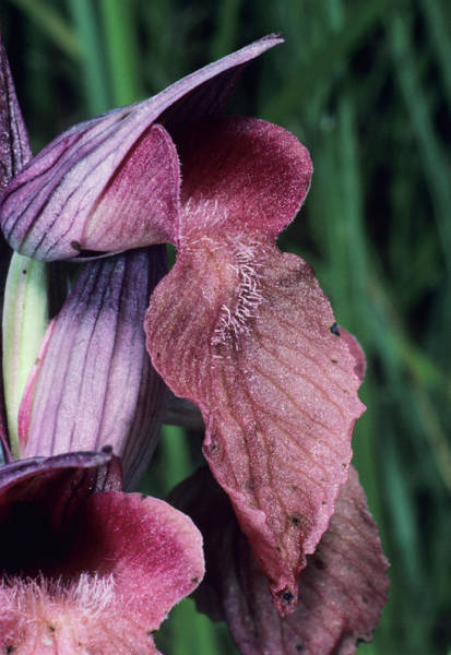 Wall Art - Photograph - Orchid Flower by Paul Harcourt Davies/science Photo Library