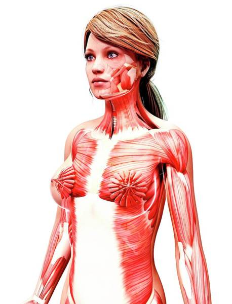 Wall Art - Photograph - Female Musculature by Pixologicstudio/science Photo Library