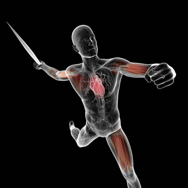Javelin Photograph - Male Anatomy by Sciepro/science Photo Library