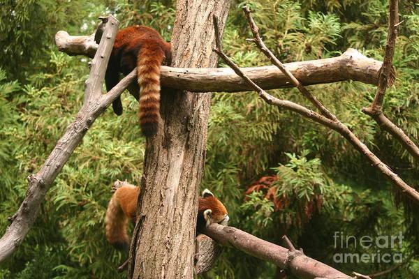 Dancing Bears Photograph - Panda Bears by Eric Brock