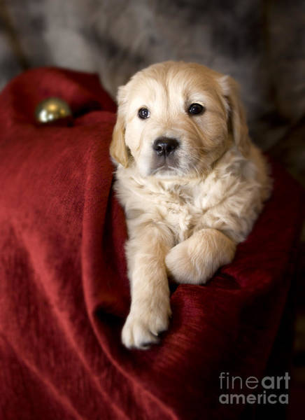 Weihnachten Photograph - Golden Retriever Puppy by Angel Ciesniarska