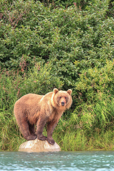Wall Art - Photograph - Grizzly Bears Also Called Brown Bears by Tom Norring