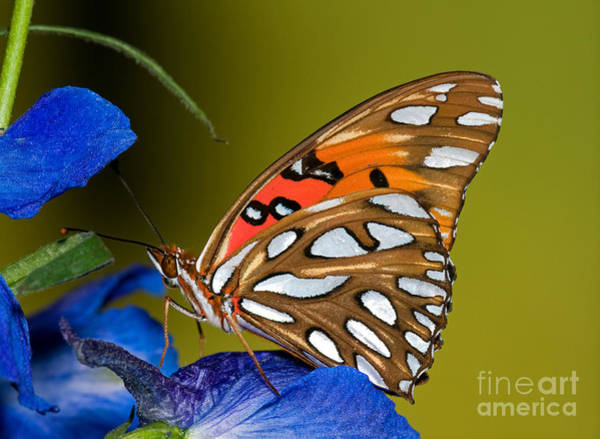 Duval County Photograph - Gulf Fritillary Butterfly by Millard H Sharp