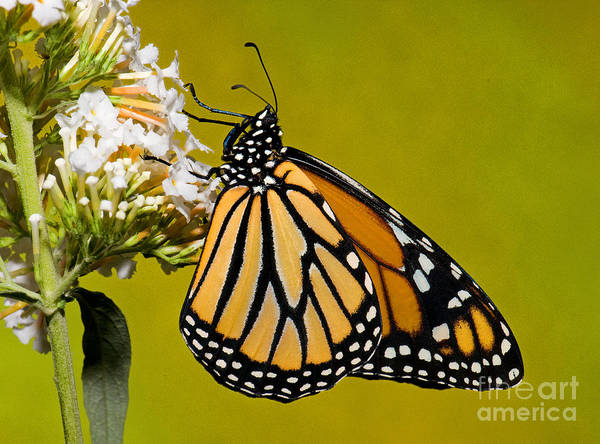 Duval County Photograph - Monarch Butterfly by Millard H Sharp