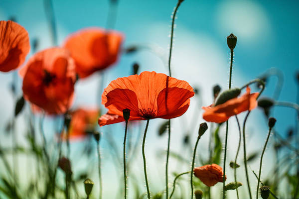 Red Flower Photograph - Poppy Meadow by Nailia Schwarz