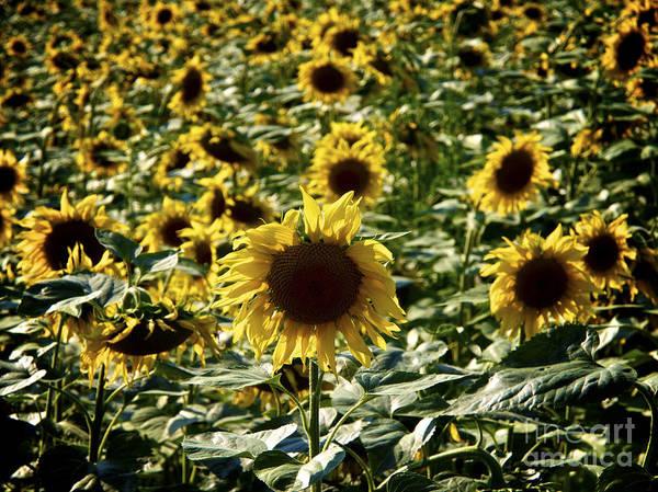 Agrarian Wall Art - Photograph - Sunflowers by Bernard Jaubert