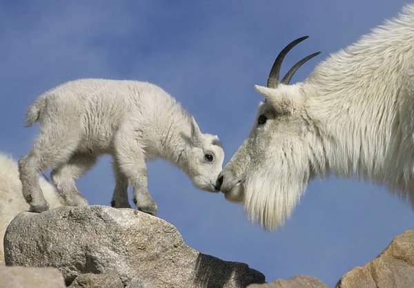 Mountain Goat Wall Art - Photograph - Usa, Colorado, Mount Evans by Jaynes Gallery