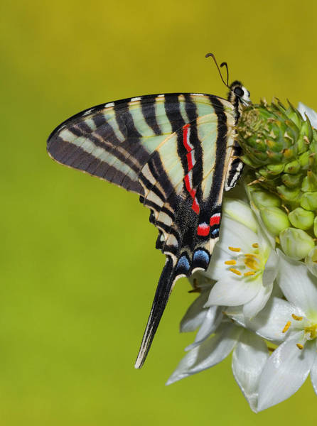 White-tailed Kite Photograph - Zebra Swallowtail Butterfly by Millard H. Sharp