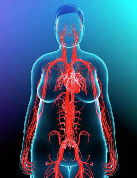 Wall Art - Photograph - Cardiovascular System by Pixologicstudio/science Photo Library