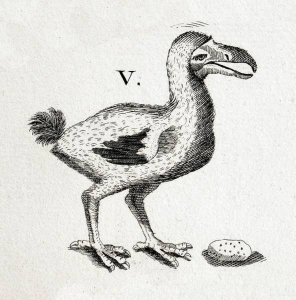1600s Wall Art - Photograph - 1657 Pre Extinction Image Of Skinny Dodo by Paul D Stewart